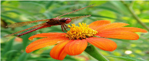 Dragonfly on Mexican Flower